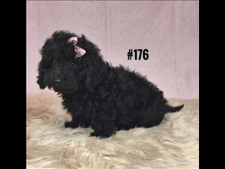Doxiepoo (Mini Dachshund X Toy Poodle) - Girl.