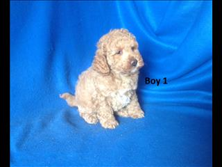 American Toy Spoodle  (American Cocker Spaniel X Toy Poodle) - Arriving into store 1 Nov. 0738082880