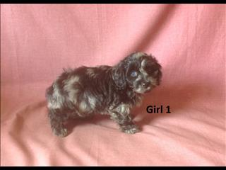 Doxiepoo (Mini Dachshund X Toy Poodle)  - 4 Girls. We are arriving into store 25 October. 07 3808 2880