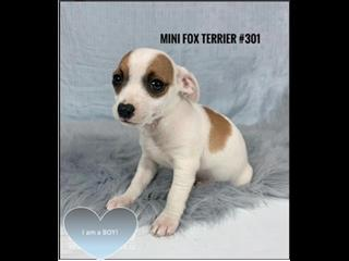 Mini Foxi (Tenterfield Terrier) Puppies - Boy. I am in store & ready for my furever home.