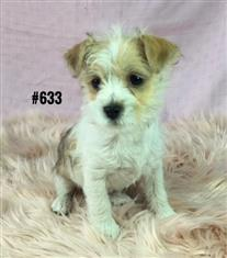 Shih Tzu / Maltese / Mini Foxi X - Girl. I am in store now and ready to go to my new home.