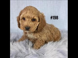 Spoodle  (English Cocker Spaniel X Toy Poodle) - Boy.  Puppy Palace Pet Shop