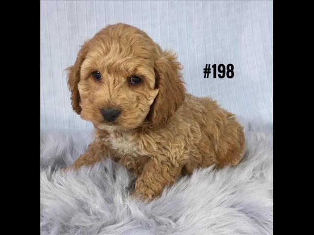 Spoodle  (English Cocker Spaniel X Toy Poodle) - Boy.  Puppy Palace Pet Shop