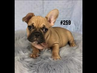 French Bulldog Purebred (Frenchie)  Puppies For Sale - Boys. WE HAVE ALSO HAD MY 2nd VACCINATION VALUED AT $100