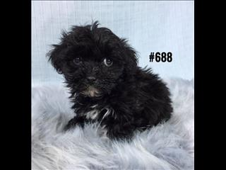 Moodle (Maltese X Toy Poodle) Puppies -  Boy.   At Puppy Palace. 07 3808 2880