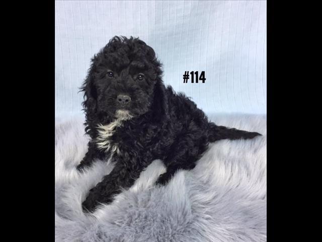 Spoodle  (English Cocker Spaniel X Toy Poodle) - Boy.  Puppy Palace Pet Shop. 07 38555511