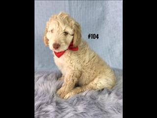 Labradoodle (2nd Generation - Std) - Gold Boy. I am in store and ready to go to my new home.
