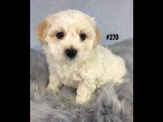 Maltese X Shih Tzu - Boy.  I am in store and ready to go home.