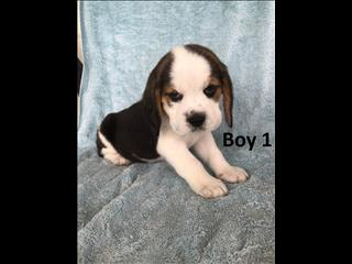 Beagle Puppies arriving into our Underwood store 29 November.