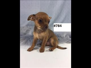 Chihuahua (Toy/Teacup) - Red Boy. Puppy Palace Pet Shop