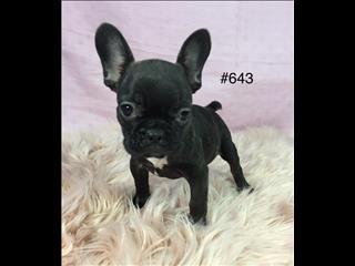 French Bulldog (Frenchie) -  Girl.  Puppy palace Pet Shop.  07 3855 5511