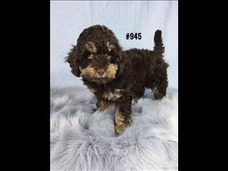 American Toy Spoodle  (American Cocker Spaniel X Toy Poodle) - Chocolate Phantom Boy.