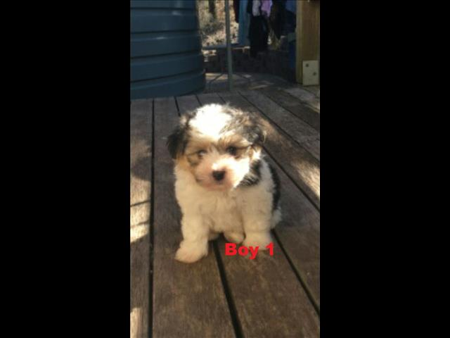 Maltese/Shih Tzu X Lhasa Apso -  We are arriving into store 31 May.   At Puppy Palace.  073855 5511