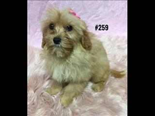 Cavoodle X Puppies -  Girl.  At Puppy Palace,  07 3808 2880