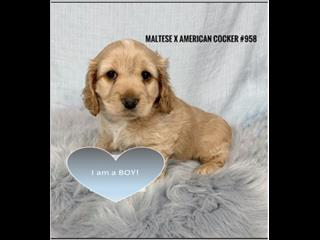 Maltese X American Cocker spaniel - Boy. I am in store & ready to go to my new furever home.