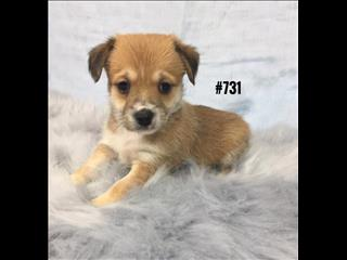 Pomchi X - Boy. I am available at Puppy Palace, Underwood.