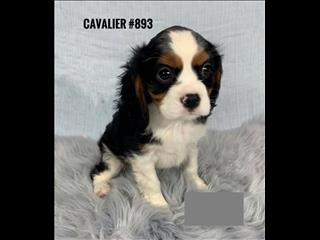 Cavalier Puppy - Boy.  In Store and ready to go home.