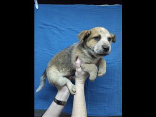 Australian Cattle Pup - Boy. 07 38555511