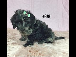 Doxiepoo (Mini Dachshund X Toy Poodle) - Girl.  At Puppy Palace, Underwood.