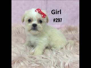 Maltese/Tibetan Spaniel X Maltese /Shih Tzu Puppies - 2 Girls & 1 Boy.  At Puppy Palace Underwood.
