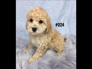 Spoodle Puppies (English Cocker Spaniel X Toy Poodle) - Boy.  At Puppy Palace, Underwood.
