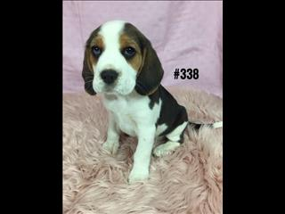 Beagle Puppies - Girl.  At Puppy Palace, Underwood.