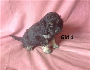 American Toy Spoodle (American Cocker X Toy Poodle) - We are arriving into store 30 November.