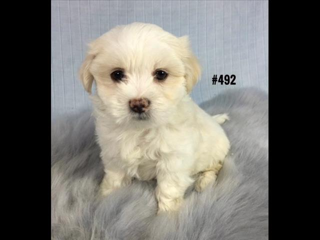 Maltese X Shih Tzu puppy - Boy.  I am in store and ready to go home.