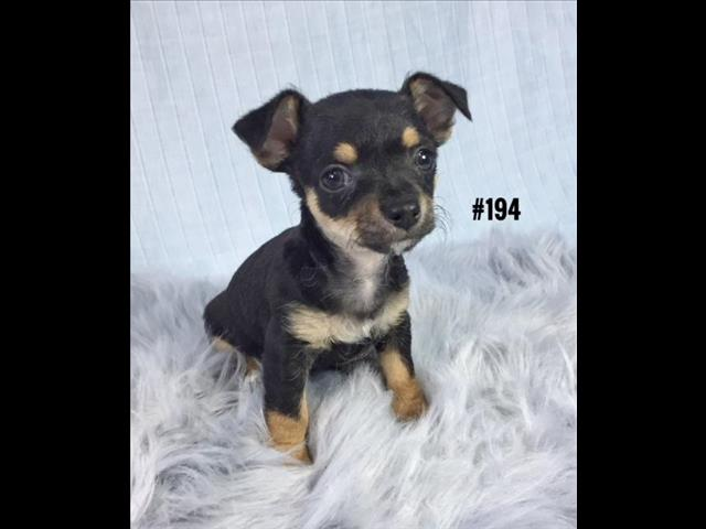 Toy Chihuahua Puppy - Boy.  At Puppy Palace.  07 3855 5511