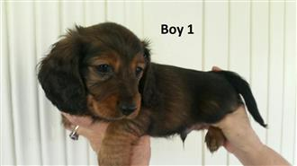 Mini Dachshund - We are arriving into store 30 November.