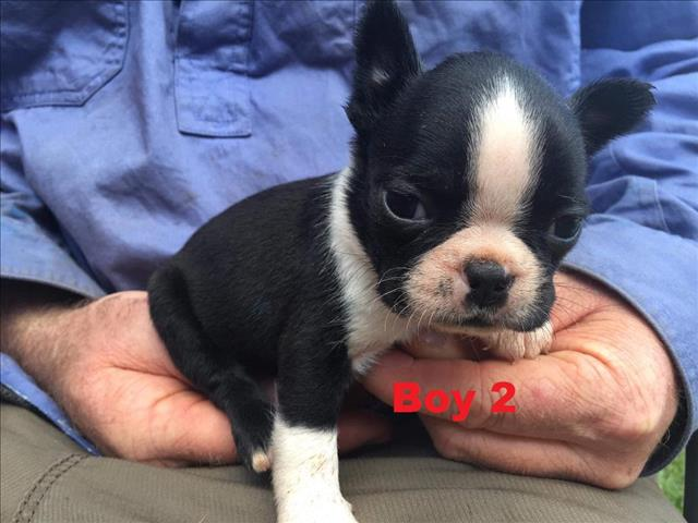 Boston Terrier - We will be arriving into store 26 April. Call to get a price.