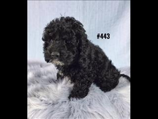American Toy Spoodle  (American Cocker Spaniel X Toy Poodle) - Black Boy. I am in store now.