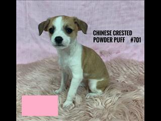 Chinese Crested Powder Puff Puppies - Girl. I am in store & ready for my furever home.