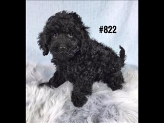 Cavoodle ( Toy Poodle X Cavalier) - Boy. I am in store and ready to go to my new home.