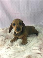 Mini Dachshund Puppy - Girl.   I am in store and ready to go to my new home.