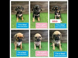 NEW! Pugalier Puppies!!