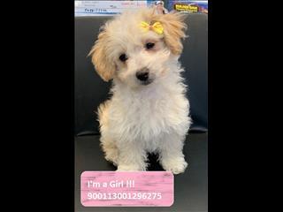 LAST ONE - Gorgeous Female Maltese x Shih Tzu Puppy