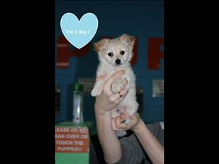 Long Haired Chihuahua Puppy - GREAT PRICE!!