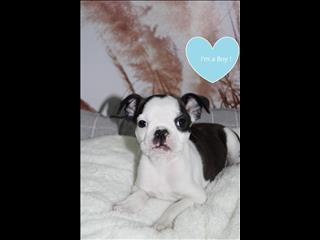Boston Terrier x French Bulldog Puppies