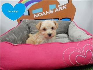 Toy Moodle (Maltese x Toy Poodle) Puppies! Apricot -9831 3322