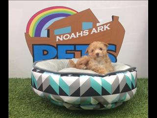 REDUCED!! Apricot Poodle x Maltese (Moodle) puppies - call 9831 3322