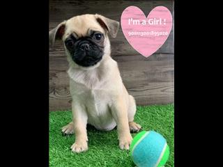 Pure Pug puppies - Call now