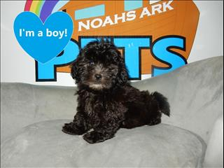 Gorgeous Shoodle/Shi Poo (Shih Tzu x Toy Poodle) puppies!