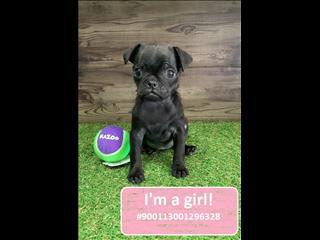 NEW!  Black Pug Puppies!!