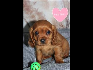 NEW! Cavalier x Poodle Puppies