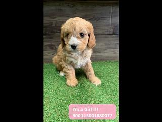 Cavoodle (Cavalier x Poodle) puppies - Call now!!!