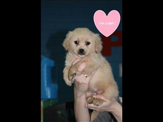 NEW Pekingese x Poodle Puppies!