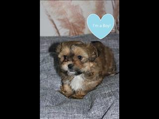 Pekingese x Shih tzu Puppies!!