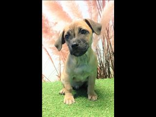 OPEN ALL EASTER!!!! Tan Jug (Pug x Jack Russell) Pups - Call now!!!