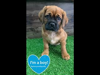 Pugalier Puppies!! Call now!